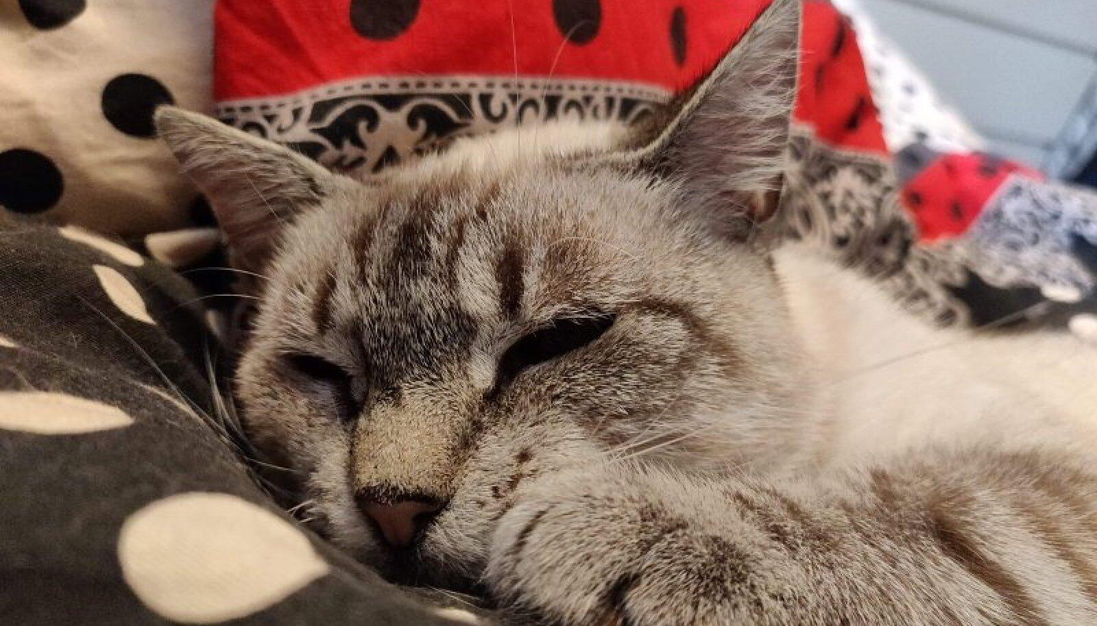 Pesaleidja kass Bibi