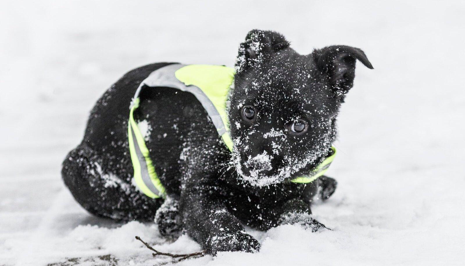 Suuremad koeratõud taluvad külma väikestest pisut paremini