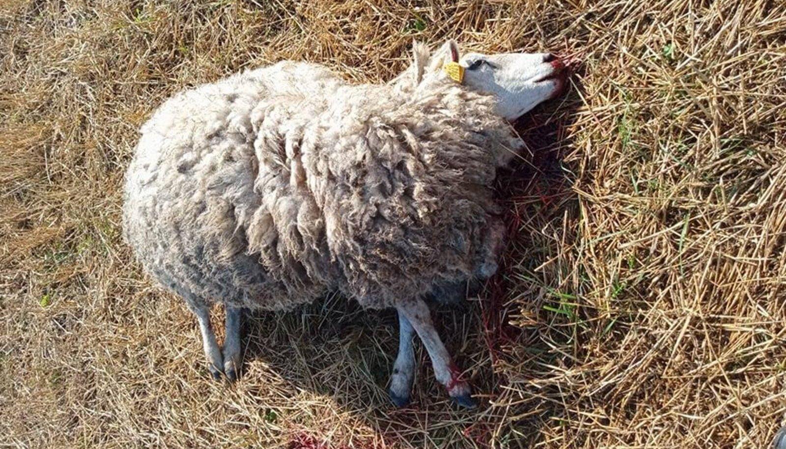 Huntide murtud lammas Raplamaal.