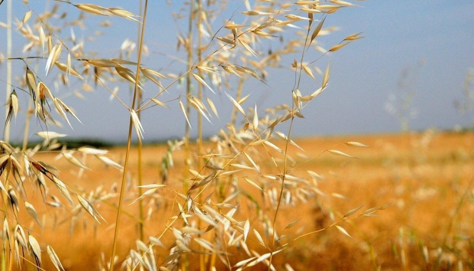 Tuulekaer valmistab viljakasvatajatele peavalu, sest levib hästi ja seeme säilitab idanemisvõime kümme aastat.