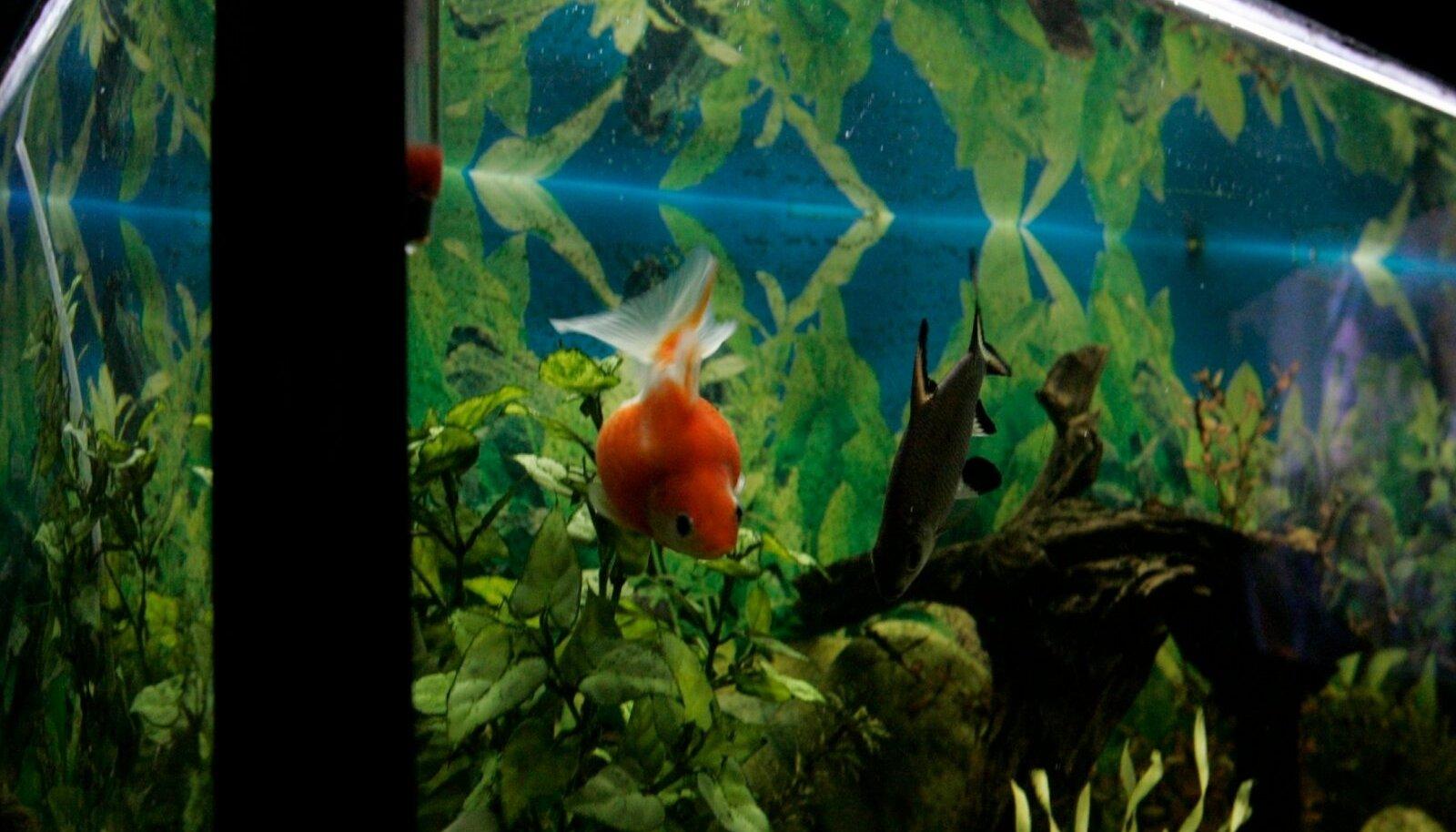 Kala koht on akvaariumis ja ka siis tuleb järgida kindlaid nõudeid