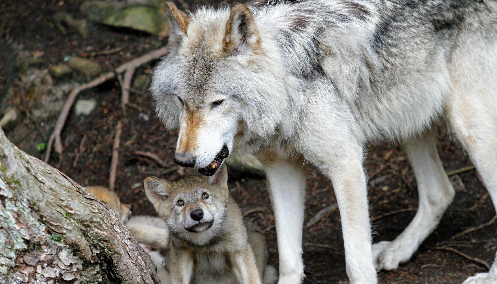 Bioloogide hinnangul on vale arvata, et hunt on inimese suhtes aggressiivne