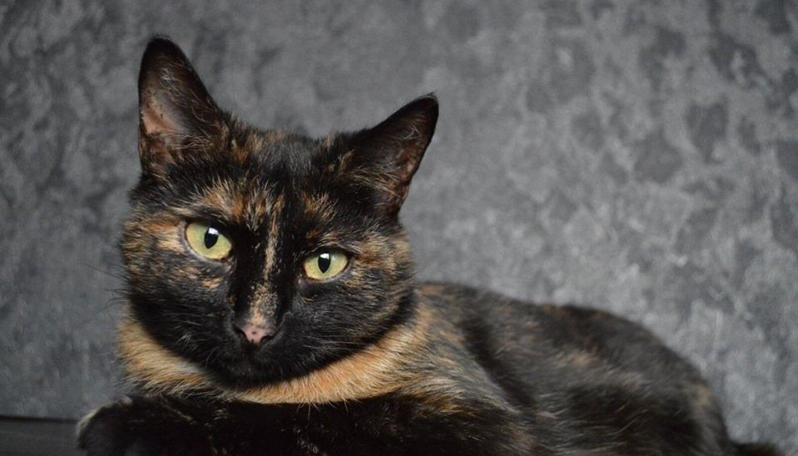 Pesaleidja kass Lunaly