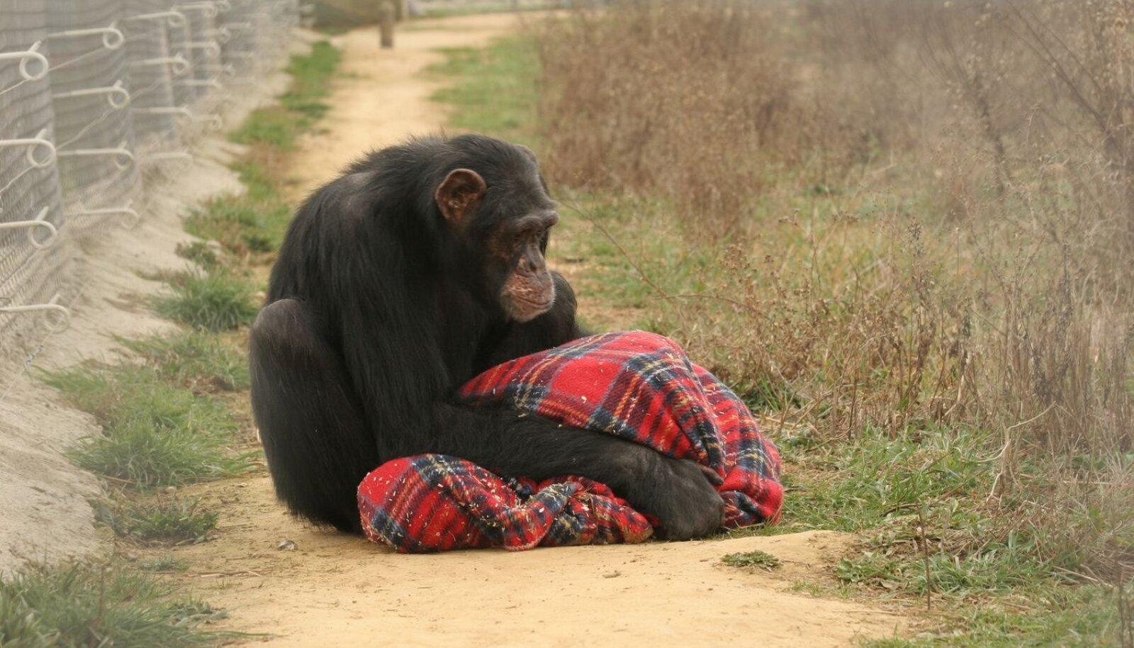 Šimpans Victor tekiga, millest ta enam ei loobu