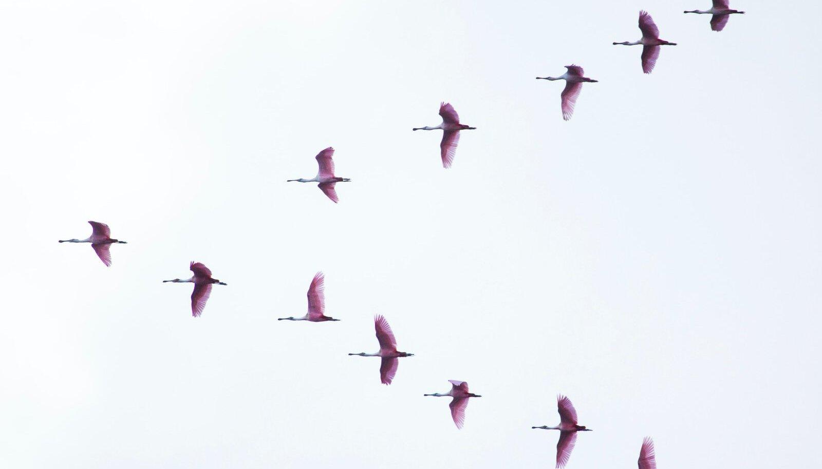 Parves lendamine aitab lindudel säästa ligi 20-30% energiat võrreldes üksi lendamisega.