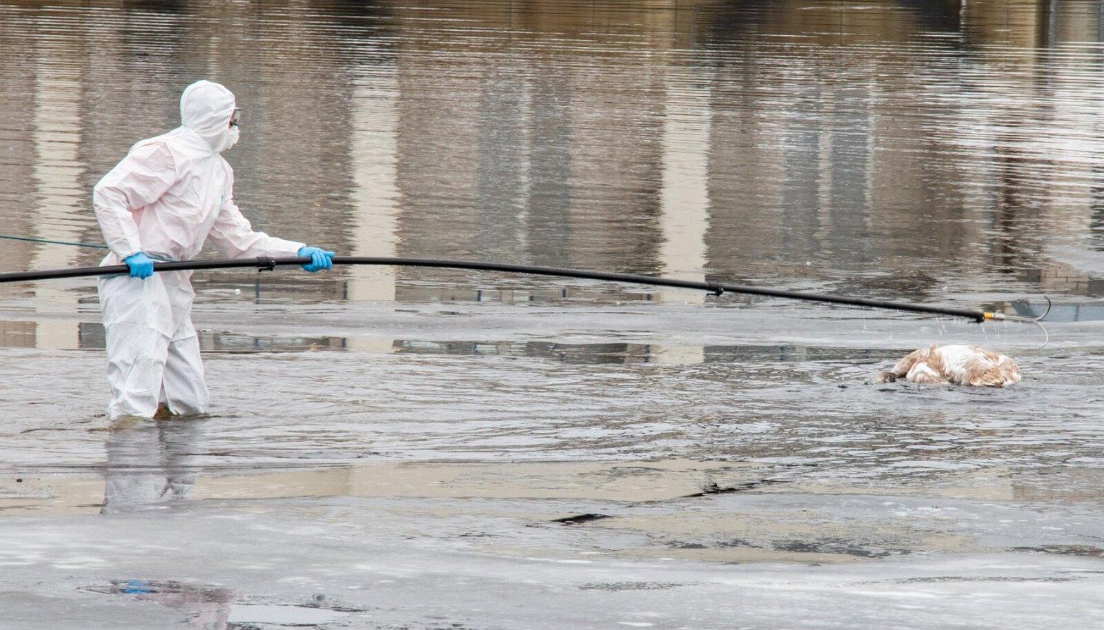 esmaspäeval leiti Saaremaal, Nasva sadamas jäält surnud luik. Linnugripi kahtlusega surnud luik viidi uuringutele