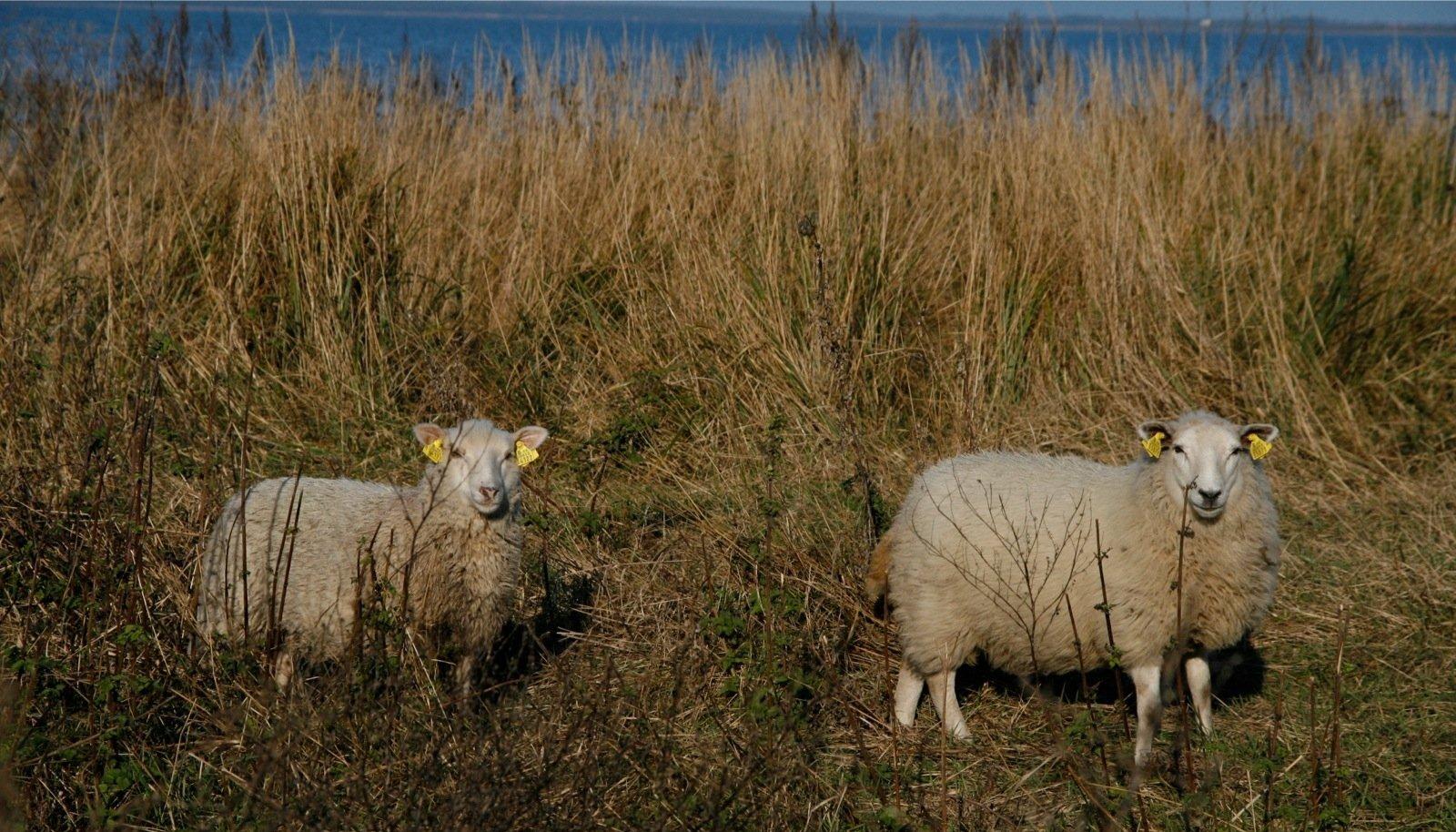 Konkreetse lammaste loenduse aja võiks talunikuga kokku leppida.