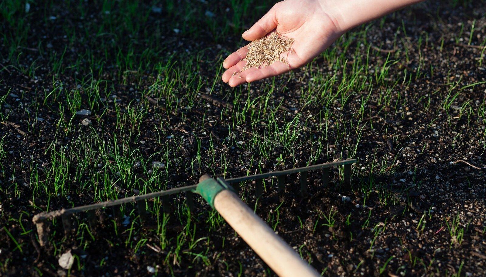 Et külv saaks ühtlasem ja kõik seemned mulda, siluge külv rehaga üle.