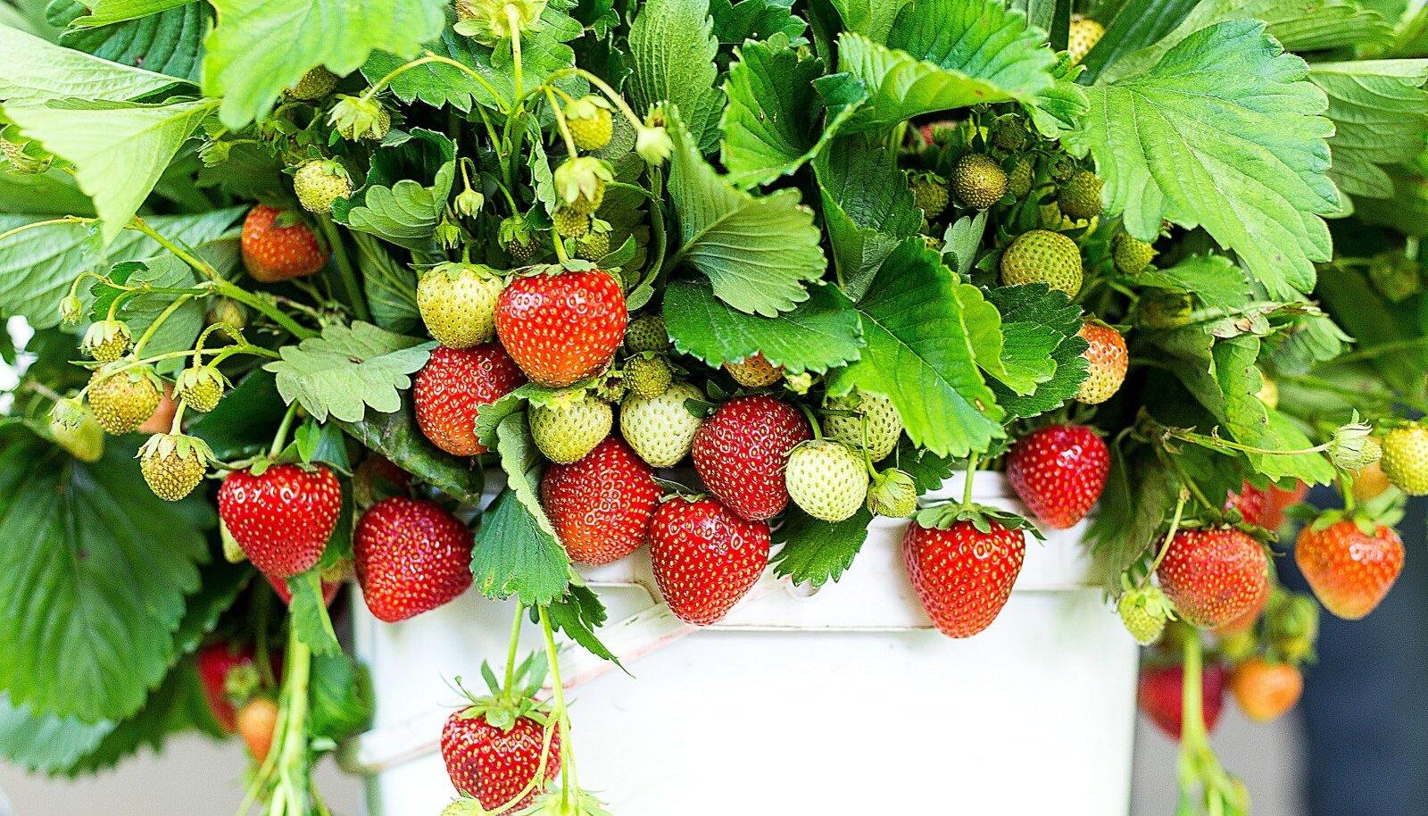 Taasviljuv maasikas annab ohtralt saaki.