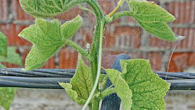 Punane kedriklest on kasvuhoones kurgi hävitanud –  kurk on kolletunud, lehed kuivanud ja kaetud kahjuri võrgendiga.