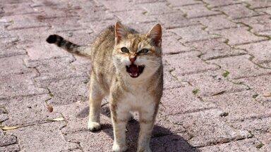 Kass muudkui näub: millal kassi näugumine terviseprobleemile viitab?