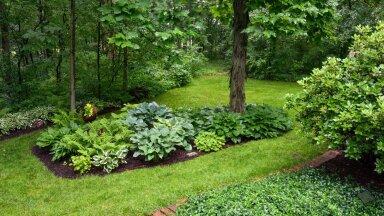 Ehkki hostad on pigem lehtdekoratiivsed, saab nendeabil kujundada värvikireva aia.