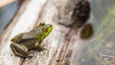 Лягушку размером с ребенка нашли на Соломоновых островах