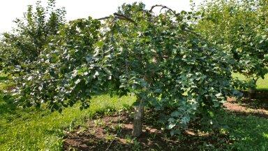 Miks mitte istutada ümber kasvõi suur õunapuu!