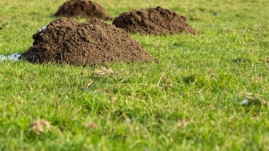 Mutimullahunnikud heakorrastatud murus masendavad iga aiaomanikku.