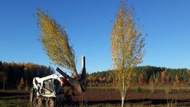 Puid kannatab istutada ka viiemeetriselt