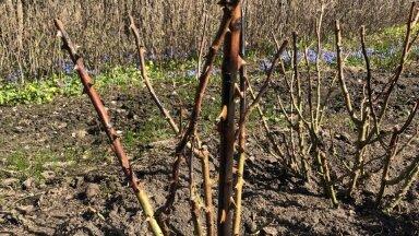 Talve üle elanud roos ootab lõikustööd.