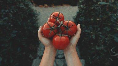 Koduaia küps tomat on terve pere lemmik! Lisaks heale maitsele on tomat kasulik nende omaduste poolest