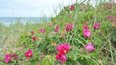 Kibuvits kasvab meeleldi rannas, kust tasubki tema lehti, õisi ja marju korjata.