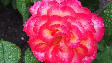 Õigel ajal ümber istutatud peenraroos juurdub ilusti ja õitseb rikkalikult. Pildil näitab oma uhket õit roos 'Leo Ferre'.