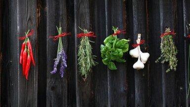 Viis väärt maitsetaime, mis kasvavad hästi nii aias, rõdul kui ka aknalaual