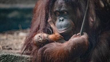 """Orangutane jahitakse ja tapetakse külmavereliselt, sest nad """"ohustavad"""" palmiõli tootmist."""