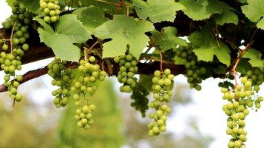 Viinapuid on väga erinevat liiki. Veini toodetakse soojemas kliimas Vitis vinifera nimelise viinapuuliigi marjadest, kuid meile sobivad kasvatamiseks hübriidsordid, mis on saadud erinevate liikide ristamisel.