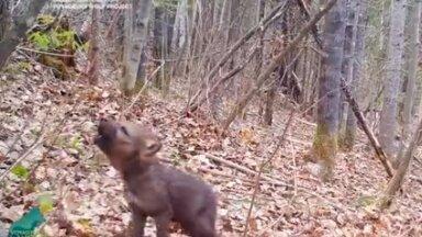 """ВИДЕО   Маленький, а уже наводит ужас! Камера-ловушка сняла """"концерт"""" волчонка"""
