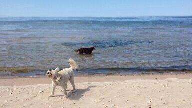 Koerad rannas