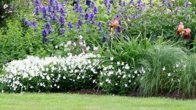 FOTOD | Naistenõgesed on suurepärased ilutaimed, mis teevad kohati lavendlitele silmad ette. Neid tasub kasvatada!