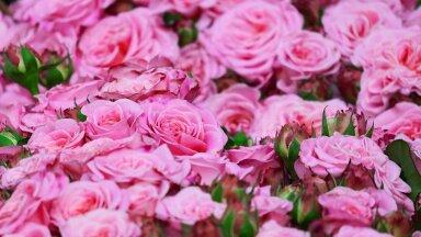 ФОТО | Начался сезон цветения! Смотрите, какие прекрасные розы выращивают читатели Delfi