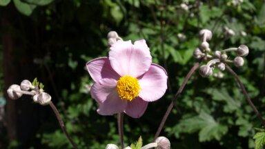 Viltjas ülane võlub suvel roosade õitega ning sügisel rõõmustab teid vahvate viljadega.