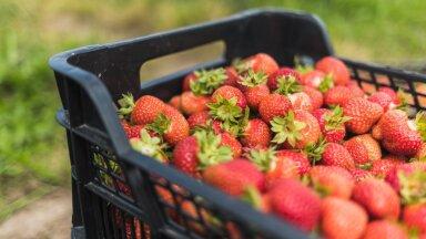 Amet juhendab: kuidas maasikaid ostes mitte petta saada