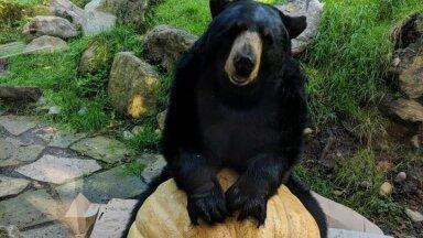 Ameerika mustkaru