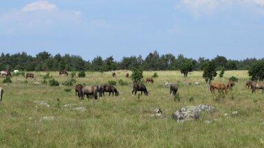 Pärast taastamisi tuleb poollooduslikke kooslusi ka niita või neid karjamaana kasutada. Muhus hoolitsevad selle eest, et võsa uuesti peale ei tungiks, hobused.