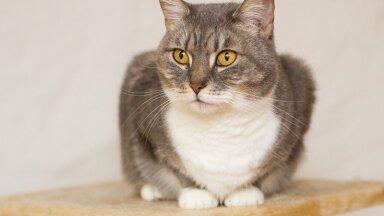 NÄDALA KODUOTSIJA: uudishimulik kassipreili Demi, kellele meeldib koera moodi käsklusi õppida