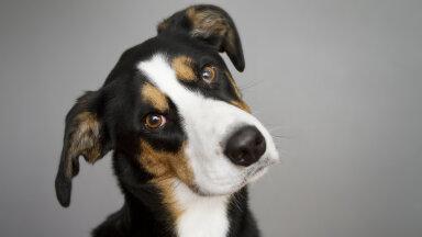 KUI MINU KOER | Kui koer hakkab järsku pead kallutama, võib probleemiks olla tõsine ja ebamugavust põhjustav terviserike