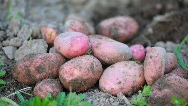 Назван продукт, который лучше не употреблять вместе с картофелем
