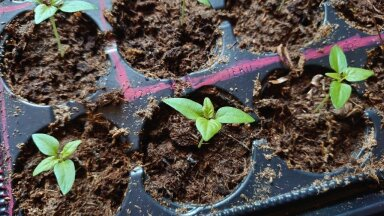 'Carolina Reaperid' kasvavad 21kraadises soojuses ja taimelampide all.