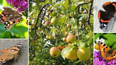 AIAHOOLIKU BLOGI   Lahendus õunauputusele ja liblikad on lõpuks ometi kohal