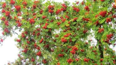 Leili metsalood | Puudel punetavad pihlad