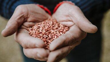 Analüüsi järgi väheneb ELi teraviljatoodang 15%.
