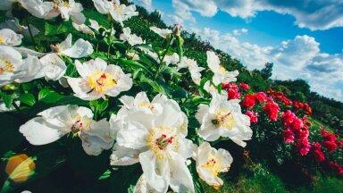 ГАЛЕРЕЯ | Смотрите, как роскошно цветет одна из крупнейших коллекций пионов в странах Балтии