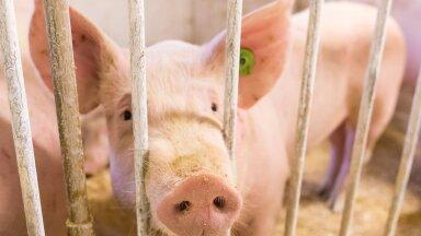 Juba on farmides hakatud hävitama tõuemiseid, mis on korvamatu kahju meie aastatepikkusele tõuaretusele.