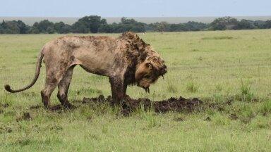 ВИДЕО | Грязный, но сытый: лев достал кабана буквально из-под земли