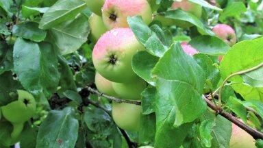 Leili metsalood | Õunapuud on ubinatest lookas