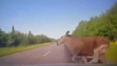 HÄIRIV VIDEO | Ettevaatust, põder sõiduteel! Vaata ehmatavat kokkupõrget loomaga