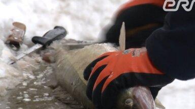 Kaader saatelõigust, kus toimus elusa kala rookimine