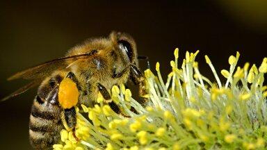 Не удивляйтесь! В жаркую погоду могут появиться пьяные пчелы