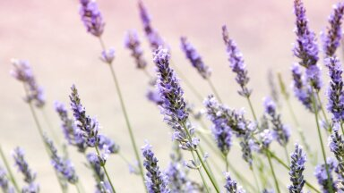 Häid põhjuseid, miks tasub sel hooajal aeda ohtralt lavendlit istutada